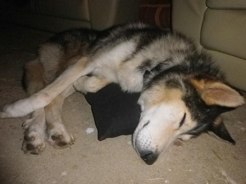 LOUIS Rebaptisé ALASKA husky à l'attache depuis des années (m) 8 ans 8 mois  EN FA ( 79 ) - Page 2 003_4110