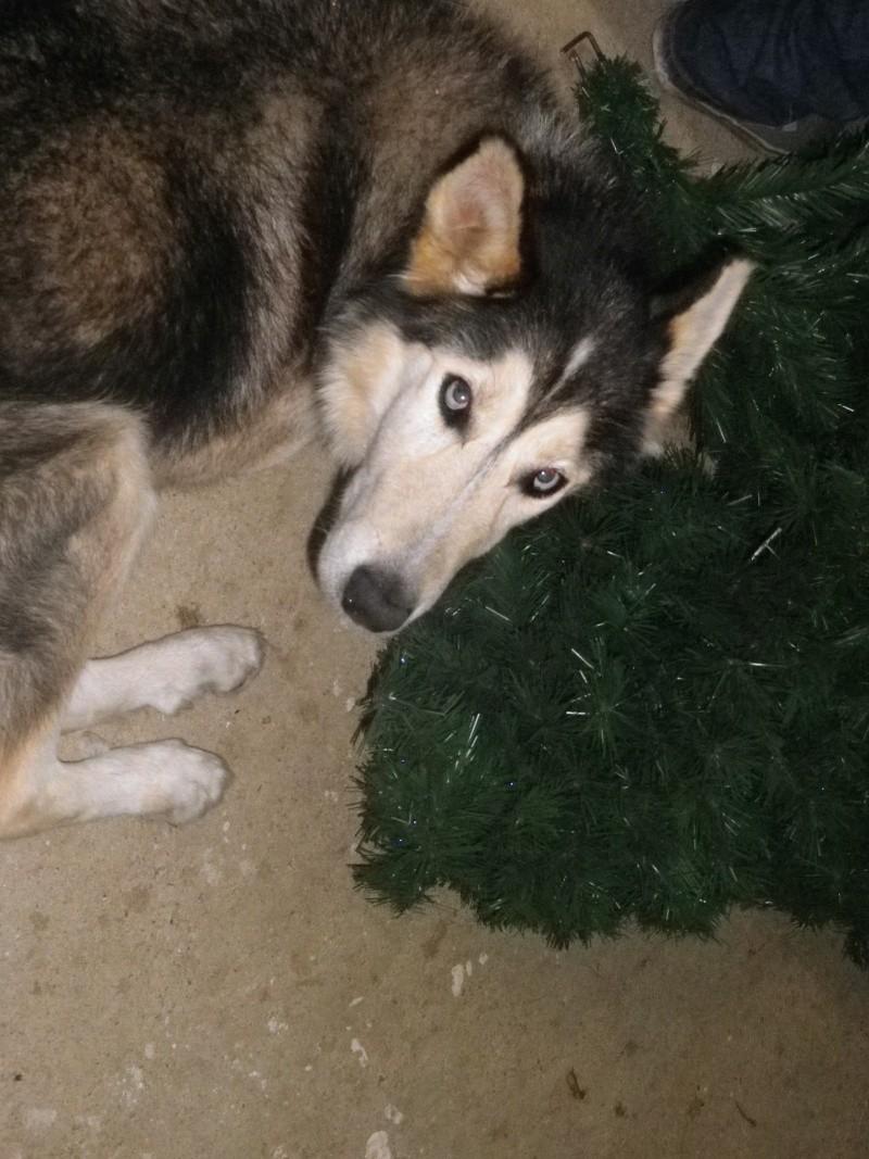 LOUIS Rebaptisé ALASKA husky à l'attache depuis des années (m) 8 ans 8 mois  EN FA ( 79 ) - Page 2 0121010