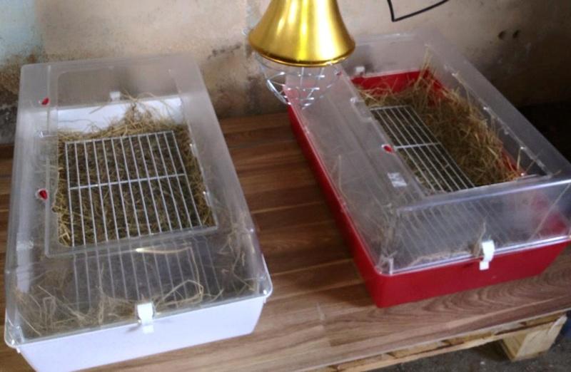 Première incubation d'oeufs de paonne 20621810