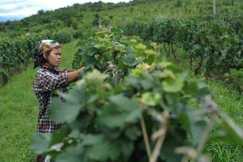 Le vin en Asie du Sud-Est Talach10