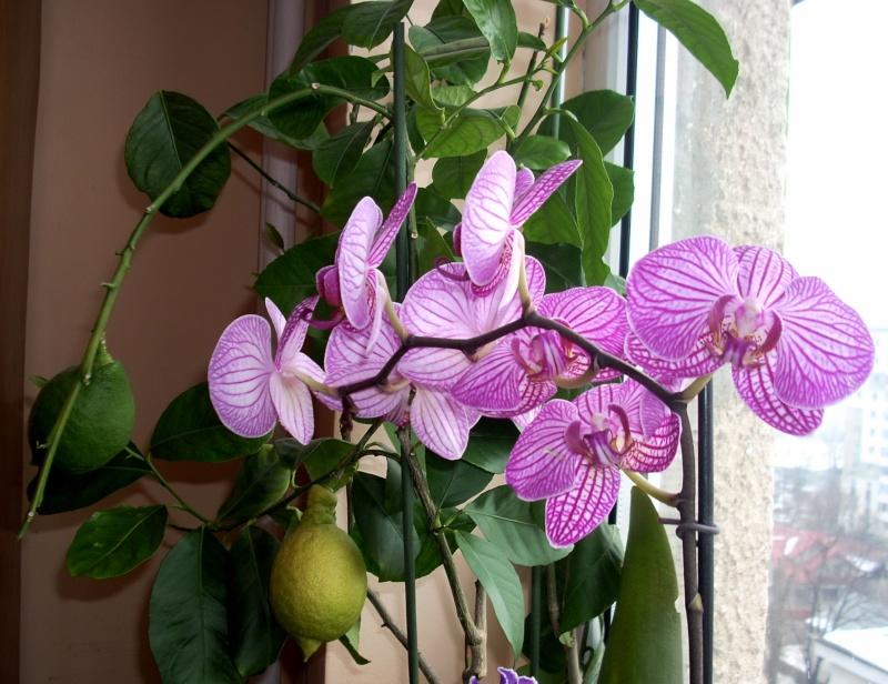 Flori de apartament-Îngrijire,înmulţire şi exponate Flori_10