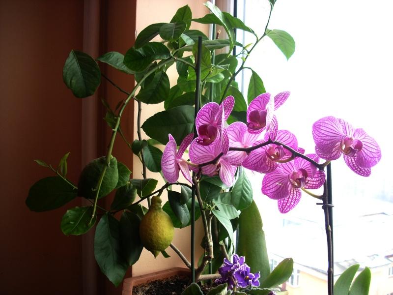 Flori de apartament-Îngrijire,înmulţire şi exponate Flori_12