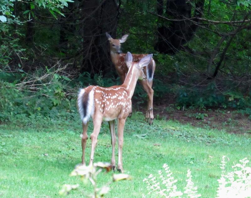 Deux Bambis dans ma cour! Img_4214
