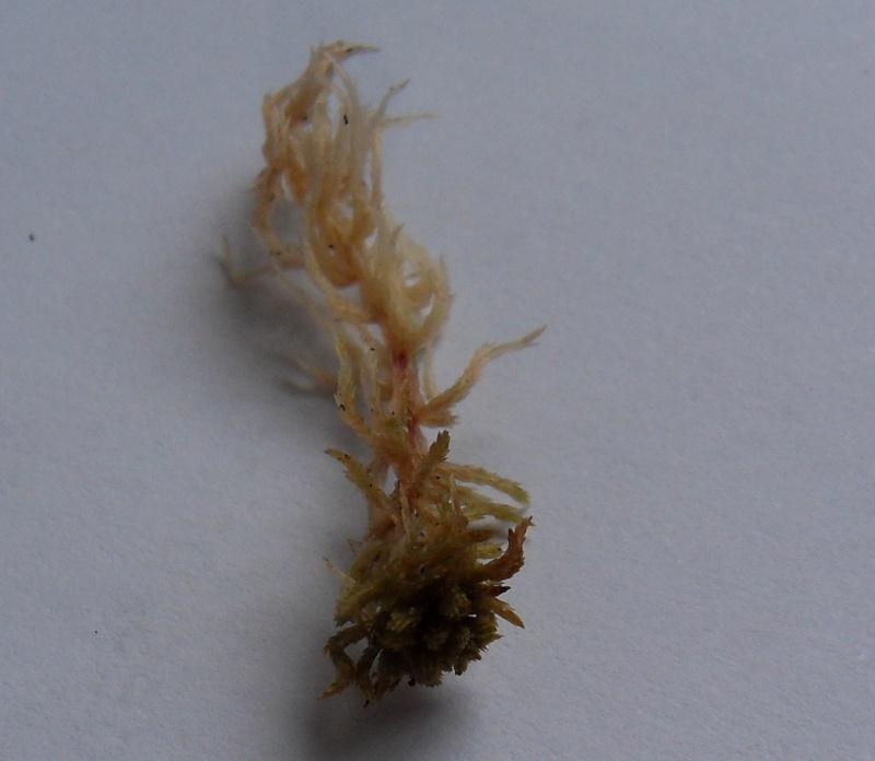Différentes espèces de sphaigne Sdc10710