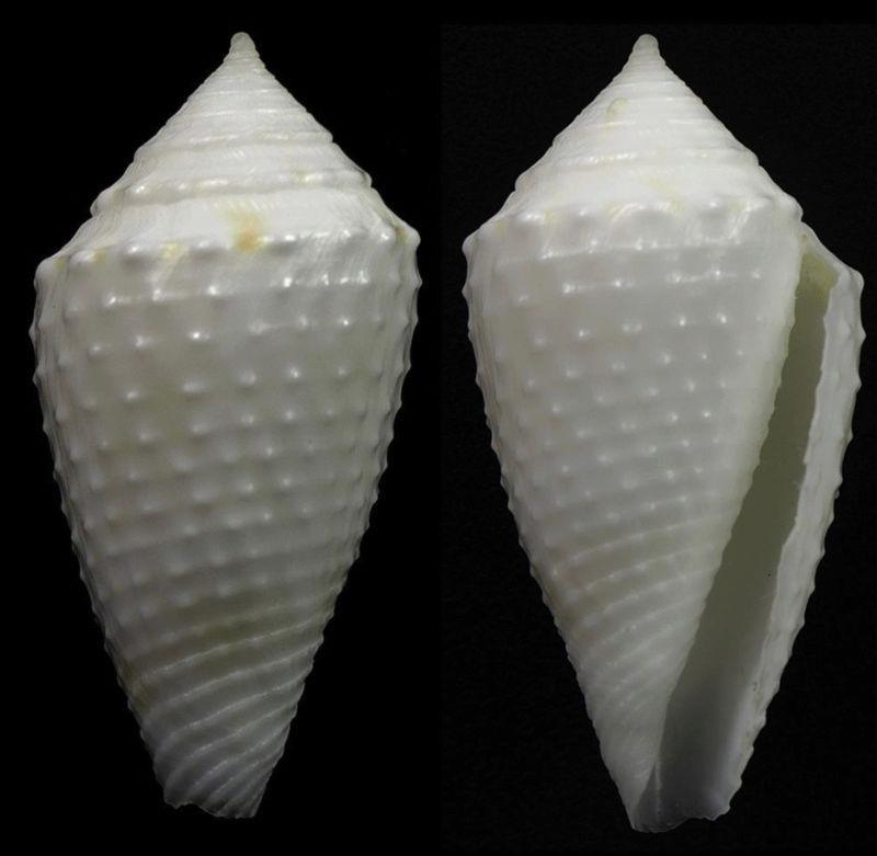 Conasprella (Ximeniconus) vanhyningi (Rehder, 1944) Captur10