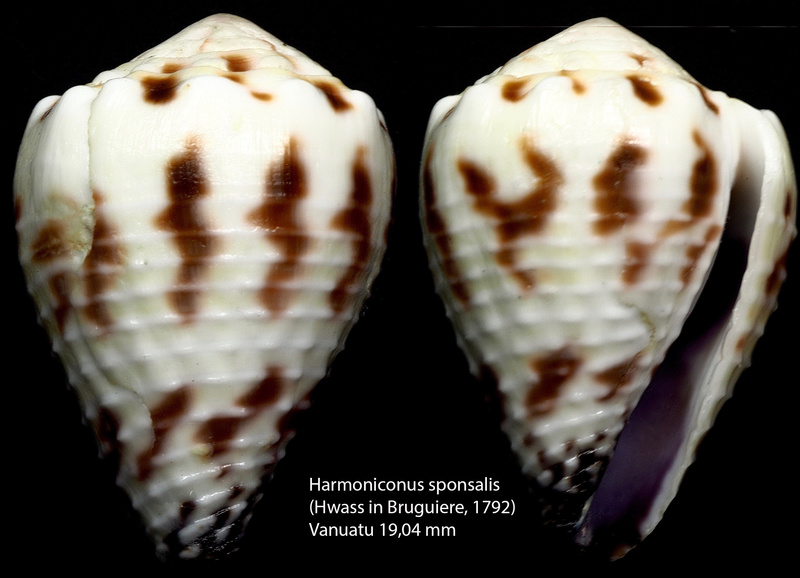 Conus (Harmoniconus) sponsalis  Hwass in Bruguière, 1792 - Page 2 Harmon12