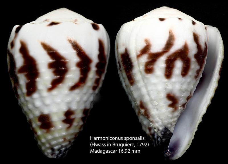 Conus (Harmoniconus) sponsalis  Hwass in Bruguière, 1792 - Page 2 Harmon13