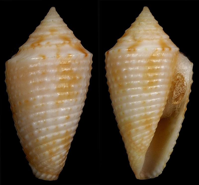 Conasprella (Ximeniconus) ogum (Petuch & R. F. Myers, 2014) Ximeni11