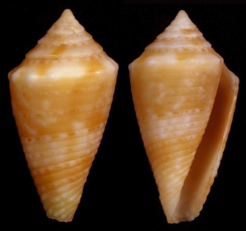 Conasprella (Ximeniconus) poremskii (Petuch & R. F. Myers, 2014) Ximeni12