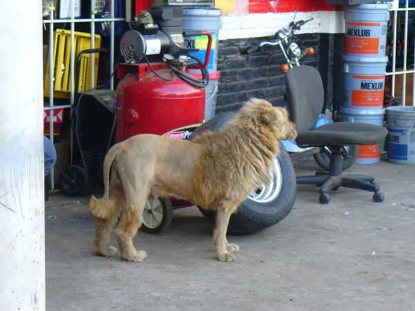 01/11/10 ~ redneck lion Image012
