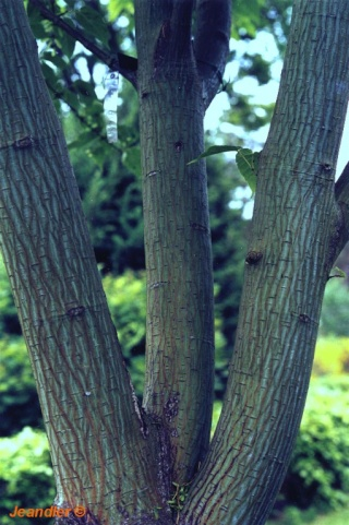arbres au belles ecorces Erable10