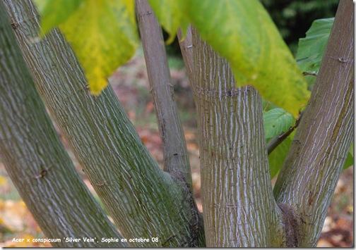 arbres au belles ecorces Erable11