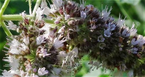 Mentha longifolia - menthe à feuille longue  Mentha10