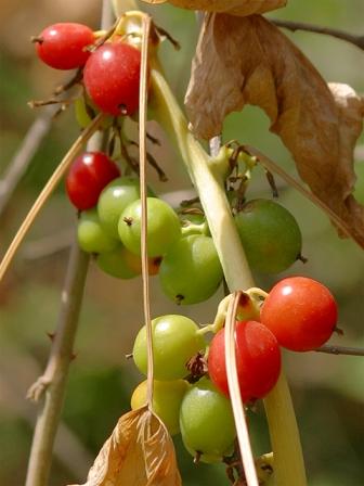 Smilax aspera, Tamus communis [devinette] Tamus_10