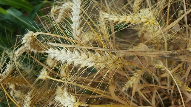 rendement blé tendre 2017 - Page 2 Borega10