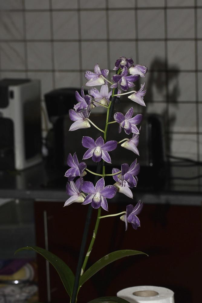 mon Dendrobium 24092010