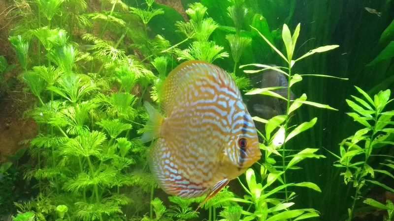 [Herpo] 590L discus/altispinosa ! - Page 5 Img_2017