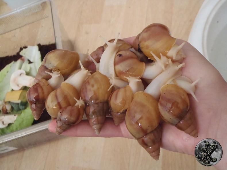 bébés lissachatinas fulica rodatzi, jadatzi, white jade et communs à vendre (edit: VENDUS) - Page 2 002-bo12