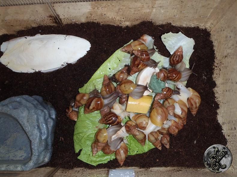 bébés lissachatinas fulica rodatzi, jadatzi, white jade et communs à vendre (edit: VENDUS) - Page 2 005-bo12