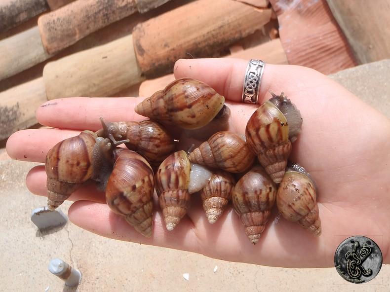 bébés lissachatinas fulica rodatzi, jadatzi, white jade et communs à vendre (edit: VENDUS) - Page 2 006-bo12