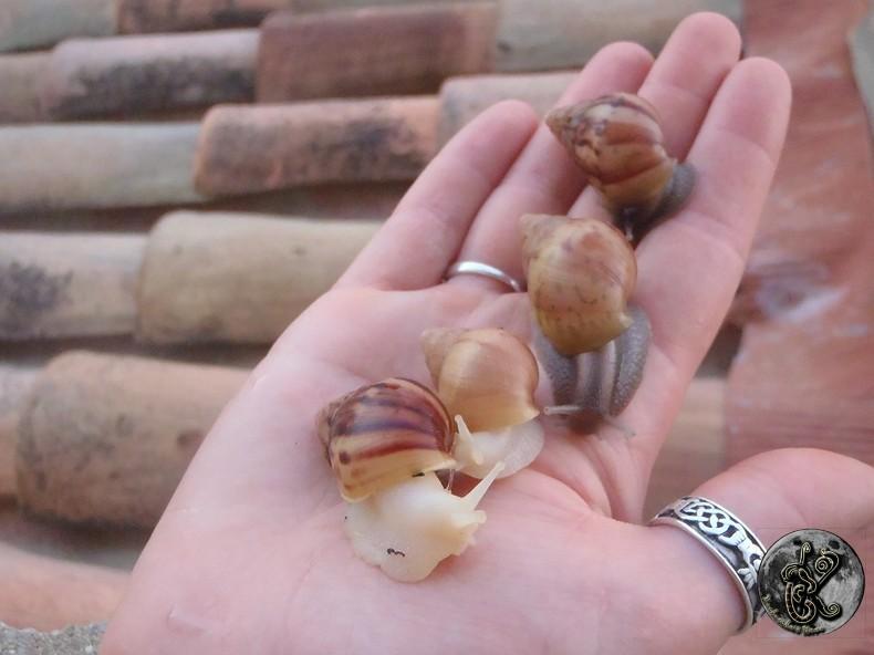 bébés lissachatinas fulica rodatzi, jadatzi, white jade et communs à vendre (edit: VENDUS) - Page 2 010-bo12