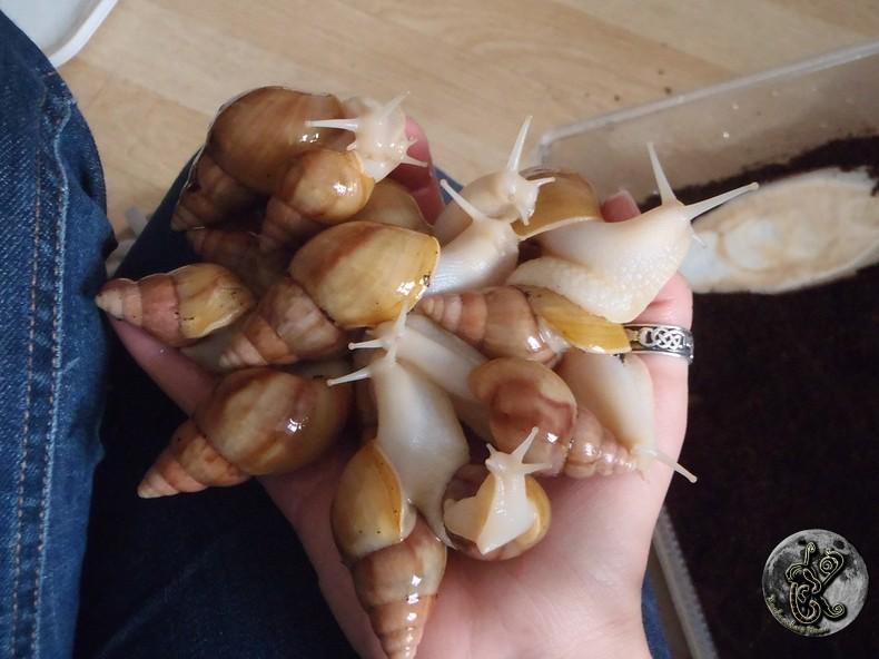 bébés lissachatinas fulica rodatzi, jadatzi, white jade et communs à vendre (edit: VENDUS) - Page 2 029-bo10