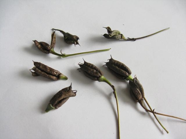 Récolte des semences, plante par plante Aconit10