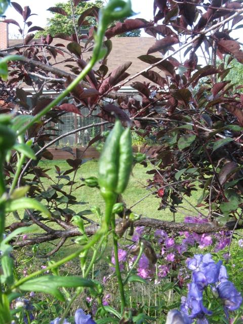 Récolte des semences, plante par plante Aconit11