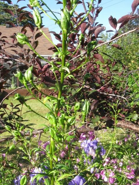 Récolte des semences, plante par plante Aconit12