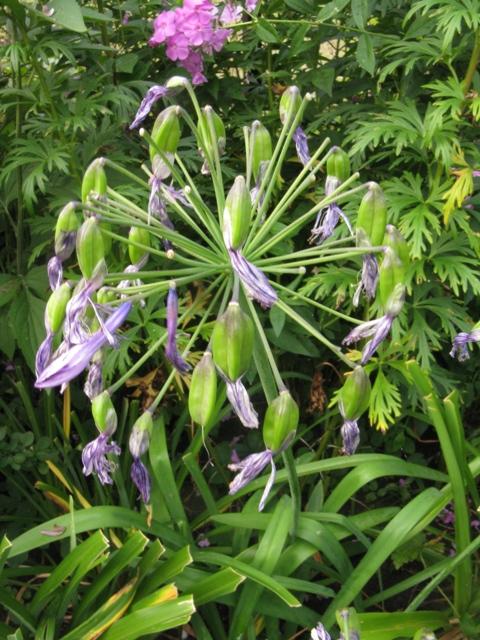Récolte des semences, plante par plante Agapan11