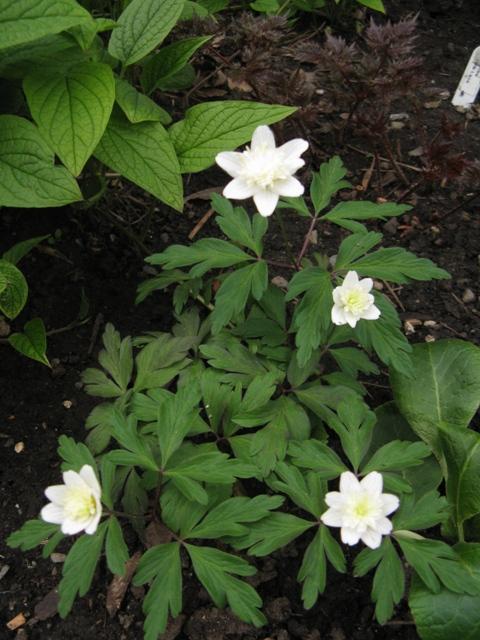 Guide d'identification: jeunes pousses, feuillages et fleurs - Page 8 Anemon19