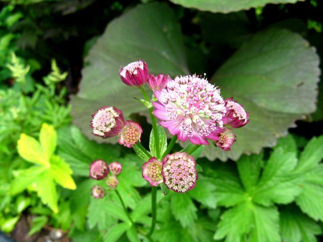 Guide d'identification: jeunes pousses, feuillages et fleurs - Page 3 Astran14