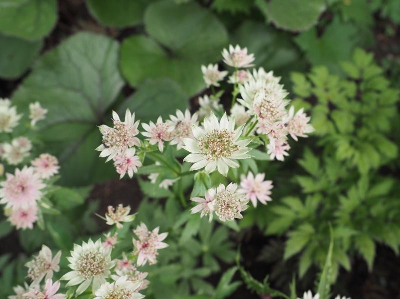 Guide d'identification: jeunes pousses, feuillages et fleurs - Page 8 Astran15