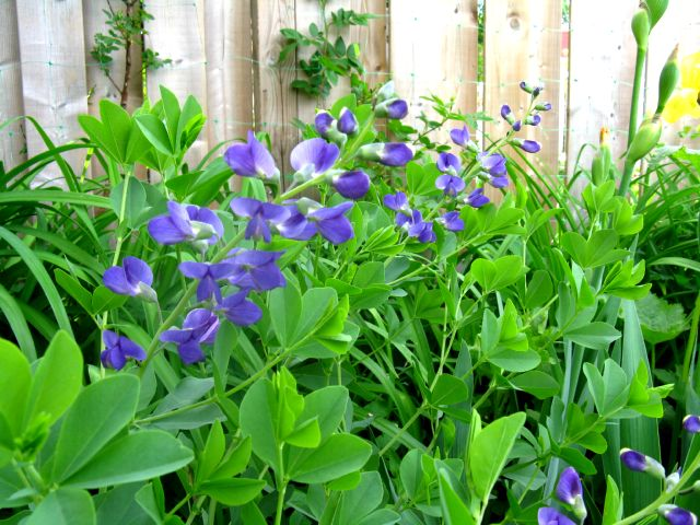 Récolte des semences, plante par plante Baptis10