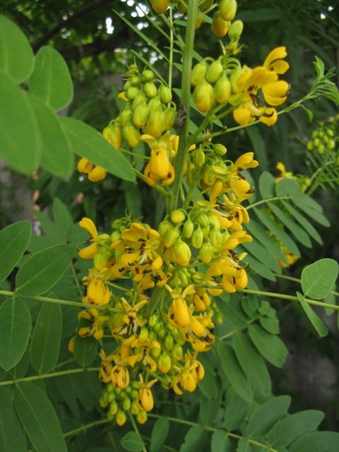 Récolte des semences, plante par plante Cassia11