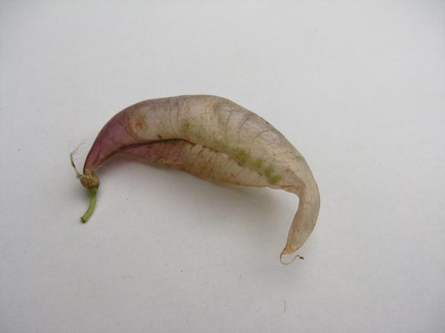 Récolte des semences, plante par plante Colute10
