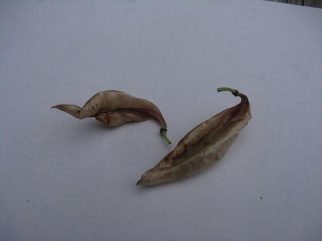Récolte des semences, plante par plante Colute13