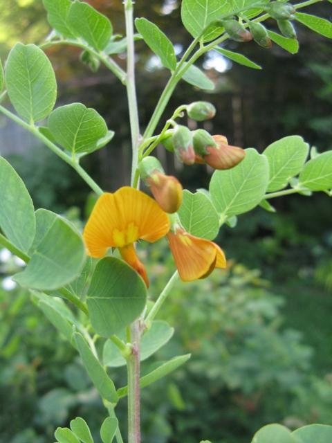 Récolte des semences, plante par plante Colute16