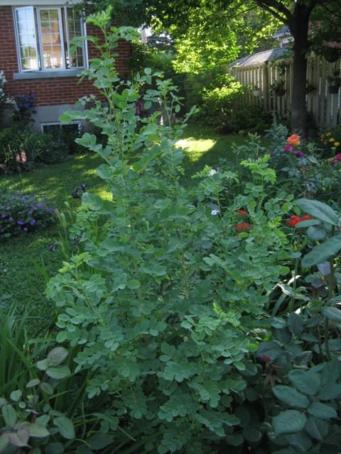 Récolte des semences, plante par plante Colute17