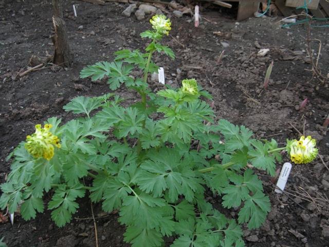 Guide d'identification: jeunes pousses, feuillages et fleurs - Page 8 Coryda15