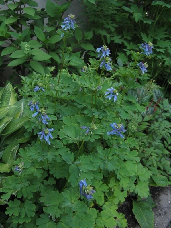 Guide d'identification: jeunes pousses, feuillages et fleurs - Page 8 Coryda19