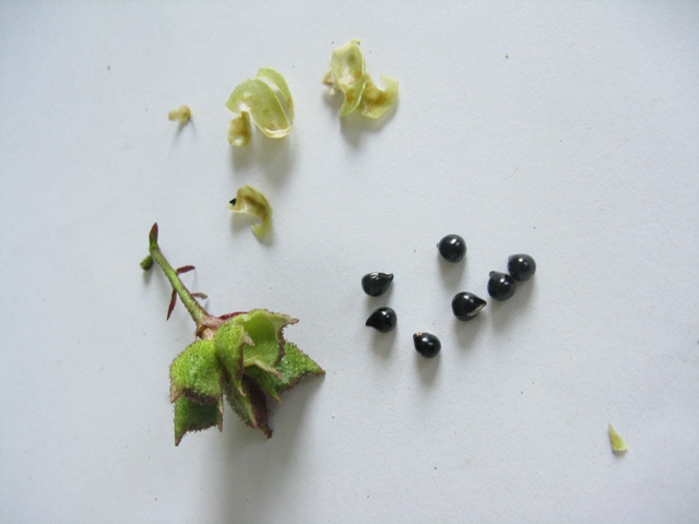 Récolte des semences, plante par plante - Page 2 Dictam11