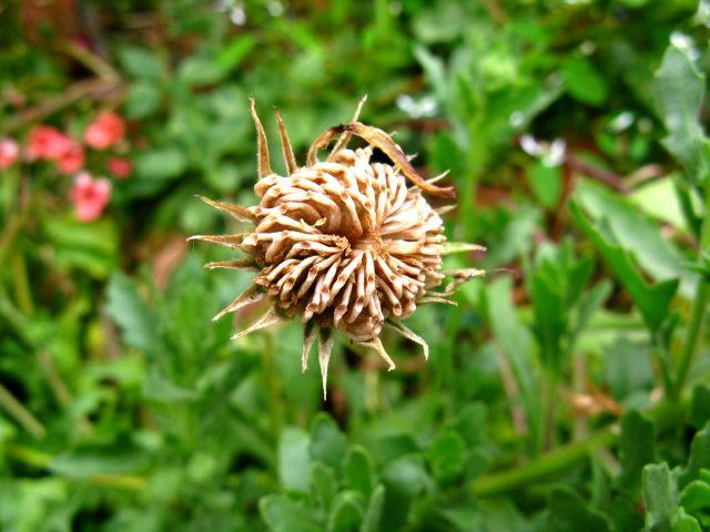 Récolte des semences, plante par plante - Page 2 Dimor_10