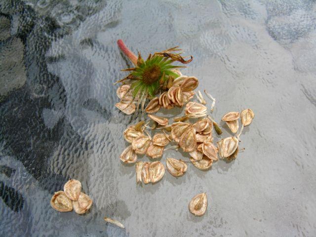 Récolte des semences, plante par plante - Page 2 Dimor_11