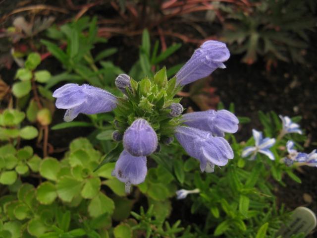 Récolte des semences, plante par plante - Page 2 Dracoc10