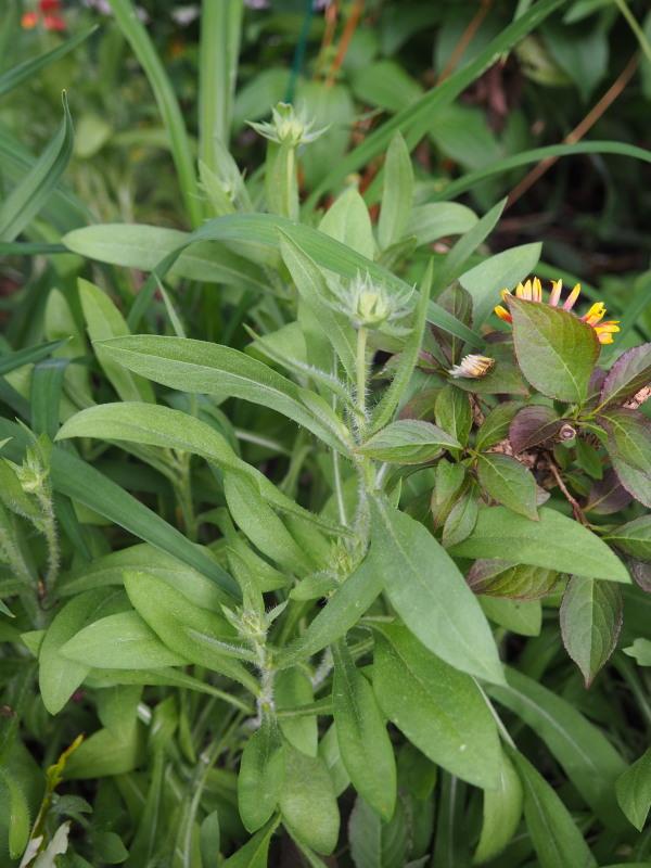 Guide d'identification: jeunes pousses, feuillages et fleurs - Page 3 Gailla10