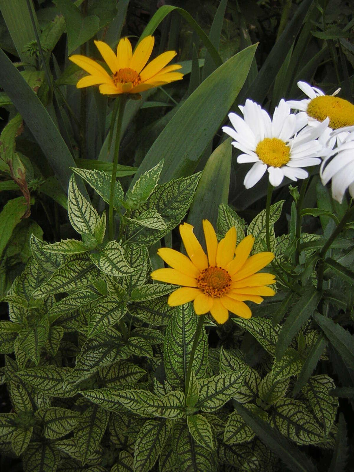 Guide d'identification: jeunes pousses, feuillages et fleurs - Page 3 Heliop14