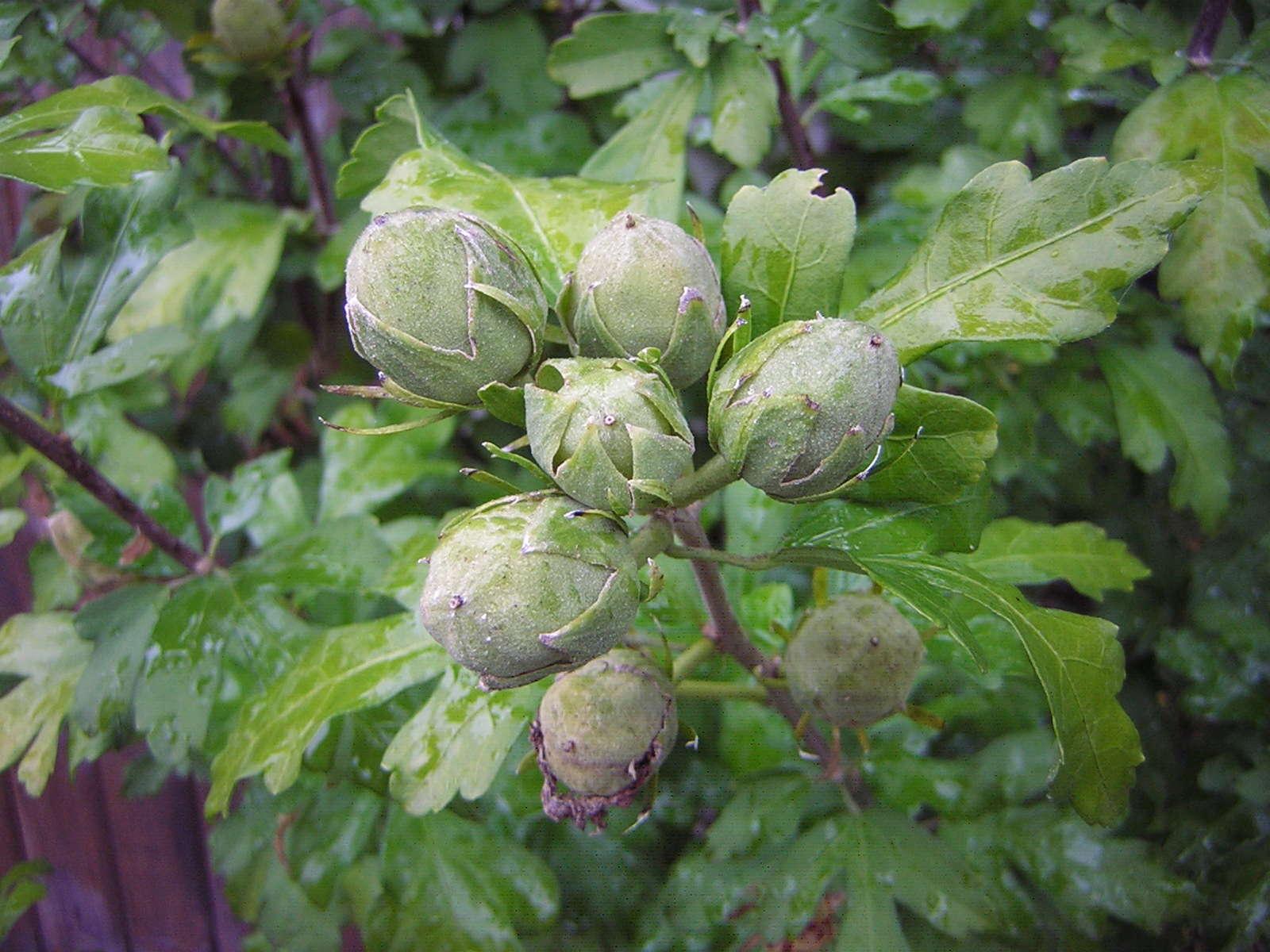 Récolte des semences, plante par plante - Page 2 Hib_sy14