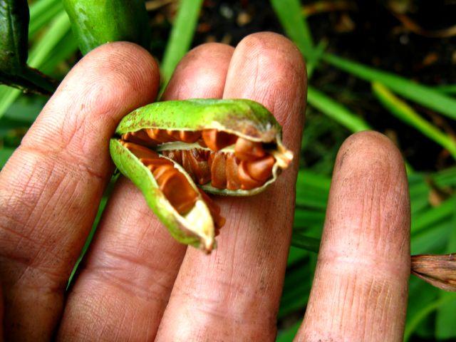 Récolte des semences, plante par plante - Page 2 Iris_g12