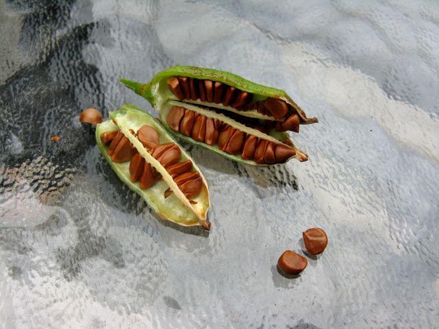 Récolte des semences, plante par plante - Page 2 Iris_g13